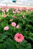 Daisy plantation Stock Image