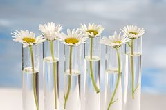 Daisy plants growing in testing tubes Royalty Free Stock Photo