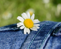Daisy Pocket Stock Photo