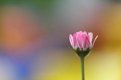 daisy pojedyncza zdjęcia stock