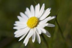 daisy pojedyncza Obrazy Royalty Free