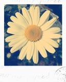 Daisy polaroid photo. Vintage polaroid photo of daisy stock image