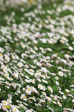 daisy pole zdjęcia stock