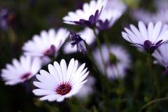 daisy pole Zdjęcie Stock