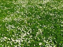 daisy pole Zdjęcia Royalty Free