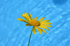 Daisy By Pool. Yellow Daisy growing by blue pool Royalty Free Stock Photography