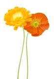 Daisy and poppy flowers Stock Image