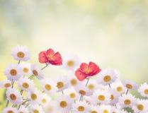 Daisy and Poppy Flowers Stock Photo