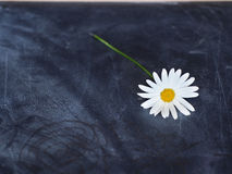 Daisy postcard Royalty Free Stock Images