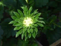 Daisy, purpere bloem witte knop in tuin stock fotografie