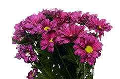 Daisy purple flowers Royalty Free Stock Image