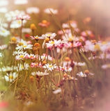 Daisy with purple petals in meadow Stock Images