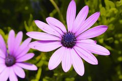 Daisy purple Stock Images