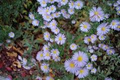 daisy purpurowe Zdjęcie Stock