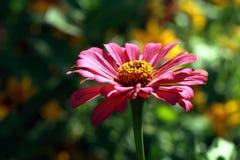daisy purpurowy Obrazy Royalty Free
