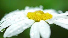 Daisy with rain drops stock video