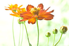 Daisy in red Royalty Free Stock Images