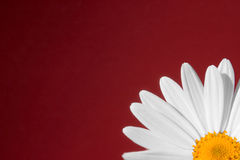 Daisy on red background Royalty Free Stock Images