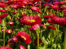Daisy, Red, Flower, Blossom, Bloom Royalty Free Stock Photo