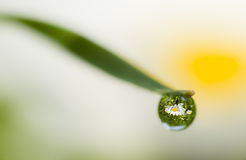 Daisy reflection on dew drop Royalty Free Stock Images