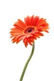 daisy rising Fotografia Stock