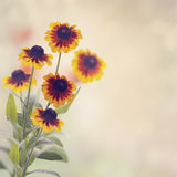 Daisy Rudbeckia Royalty Free Stock Images