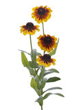 Daisy Rudbeckia Royalty Free Stock Photo