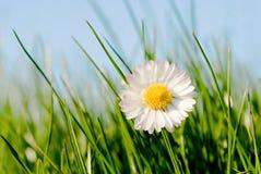 daisy słońce Zdjęcie Royalty Free