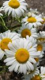 Daisy& x27;s. Daisys, white, yellow, multiple, flowers, nature stock images