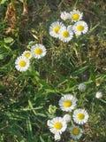 Daisy& x27; s стоковые изображения rf