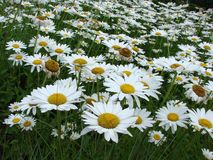 Daisy's galore. Fresh white Daisy's in flower garden Royalty Free Stock Photography