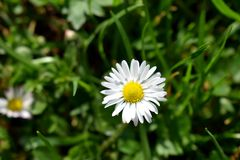 daisy samotna Fotografia Stock
