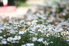 Daisy Saxon immagine stock