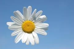 Daisy schortte in de hemel op Royalty-vrije Stock Afbeeldingen