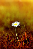 Daisy in Scorched Grass. A Spring daisy emerging from grass that has been tinted to appear as a scorched wasteland.  The bokeh background has the appearance of Royalty Free Stock Photography