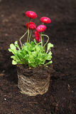 Daisy seedling with roots. Red daisy seedling with roots ready for planting royalty free stock images