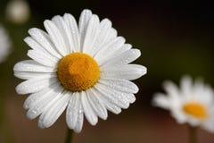 daisy sen fotografia stock