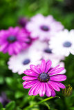 Violet Daisy On A Sunny Day. A Daisy with Shallow Depth of Field royalty free stock images