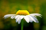 Daisy from the side. (profile) in a grunge feel during summer Royalty Free Stock Image