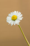 A Daisy Royalty Free Stock Image
