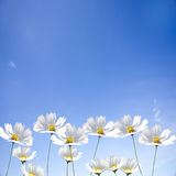 Daisy single flower on blue sky Royalty Free Stock Photo