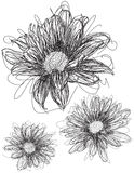 Daisy sketches Stock Photos
