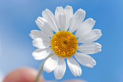 Daisy in the sky. Summer wild daisie over blue sky Royalty Free Stock Images