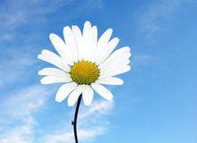 A daisy in the sky. A beautiful daisy in the sky Stock Image