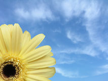 Daisy & Sky. Yellow gerbera daisy against a blue sky Stock Image