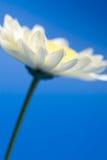 Daisy in the sky. White daisy in the sky Royalty Free Stock Photos