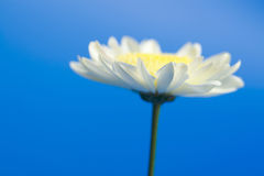 Daisy in the sky Stock Photography