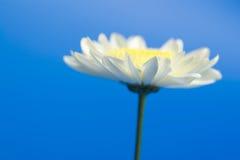 Daisy in the sky. White daisy in the sky Stock Photography