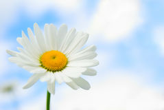 Daisy in sky Royalty Free Stock Image