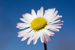 Daisy in the sky Royalty Free Stock Photos